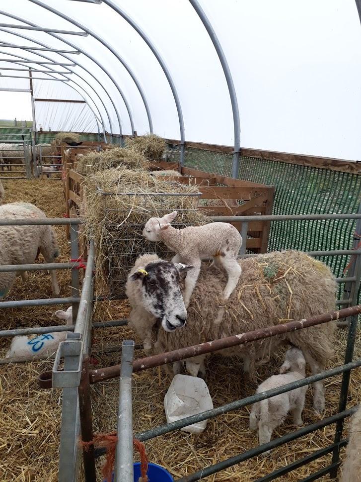 "alt=""lambing time lamb on top of ewe"""