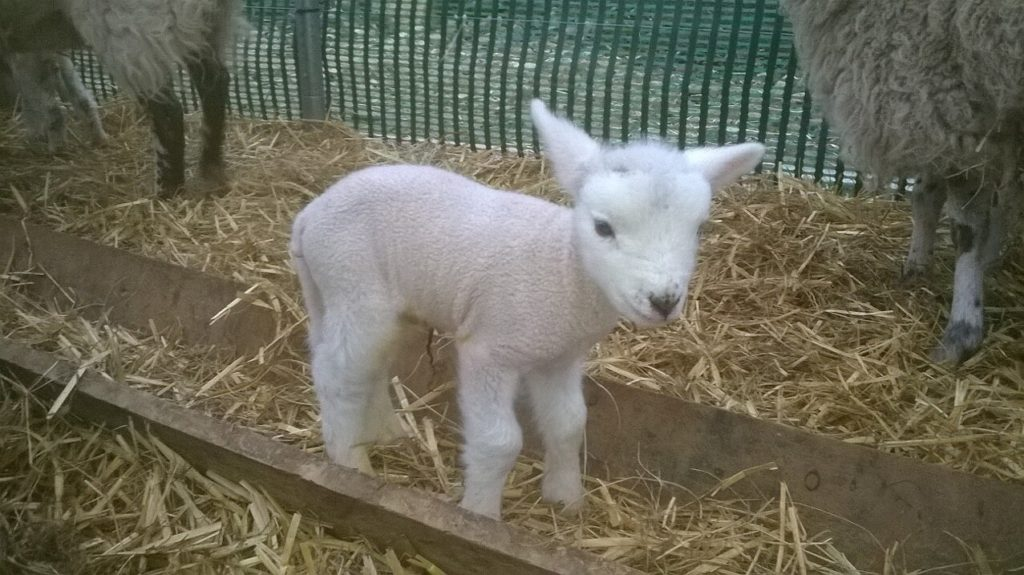 "alt+""tiny lamb at lambing time"""