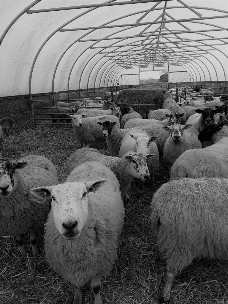 """alt=""""lambing time poly tunnel full of sheep"""""""