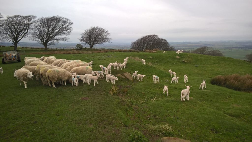"alt=""lambs in field at lambing time"""