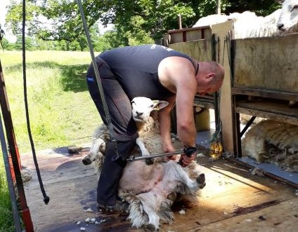 "alt=""stay on a farm John shearing a ewe on a clipping trailer in the sun at shearing time"""