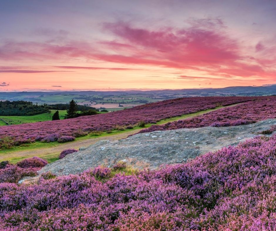 "alt="" autumn walks through the purple heather of simonside hills """