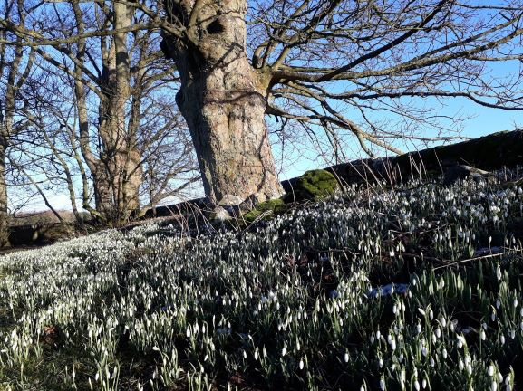 "alt=""Spring in St Oswald's Churchyard covered in snowdrops"""