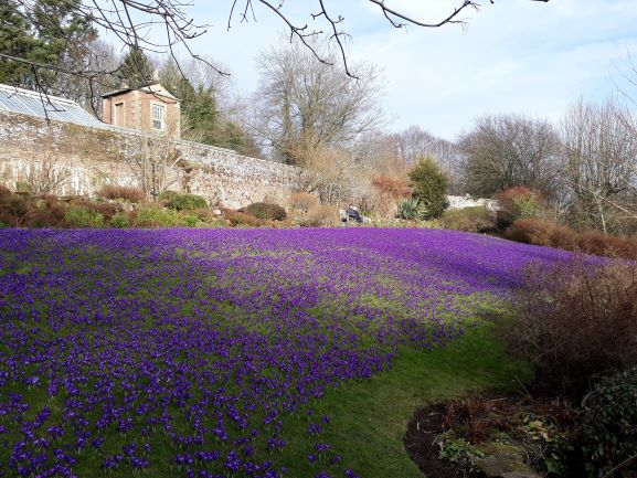 "alt=""Spring crocus lawn at Wallington Hall walled garden"""
