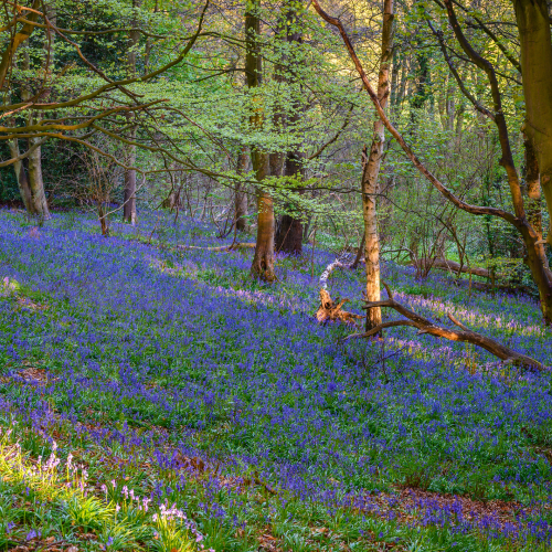"alt=""bluebell carpeted woodland in Morpeth"""